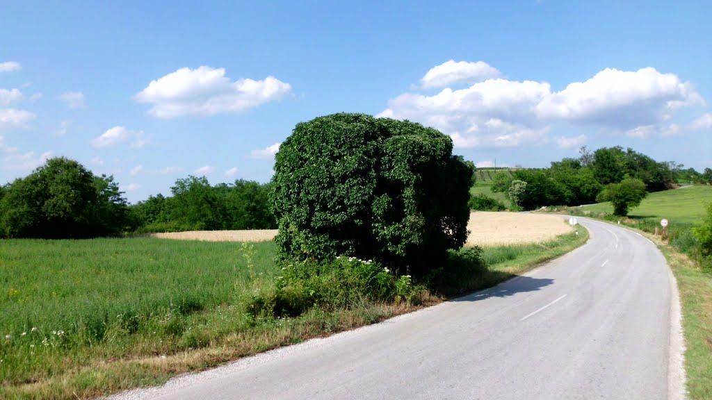 Гумасто дрво 2